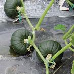 種 野菜たね 露地抑制栽培向き F1豊産かぼちゃ 1袋(10粒)/タネ たね カボチャ 南瓜