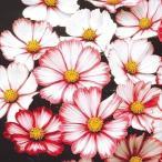 種 花たね コスモス ピコティ 1袋(500mg)