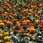 種 花たね 紅花 1袋(20粒)