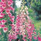種 花たね ジキタリス混合 1袋(50mg)/タネ たね