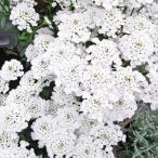 種 花たね 宿根イベリス 1袋(100mg)/タネ たね