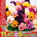 花種 花タネ 1年草 花壇 鉢 ビオラ 混合 たね