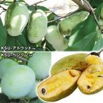 果樹苗 ポポー 超々豊産性ポポーセット 2種2株