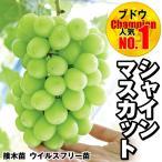 果樹苗 ブドウ シャインマスカットP 接木苗 ウイルスフリー苗 5株
