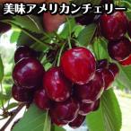 果樹苗 サクランボ ステラ 1株