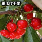 果樹苗 サクランボ エコ佐藤錦 1株