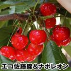 果樹苗 サクランボ エコ佐藤錦&ナポレオン(受粉樹) 2種2株