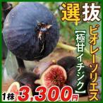 果樹苗 イチジク 選抜ビオレーソリエス 1株