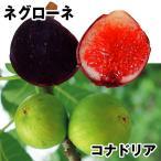 果樹苗 イチジク まるごとイチジクセット 2種2株