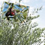 果樹苗 オリーブ アルベキナ 15cmポット苗 1株
