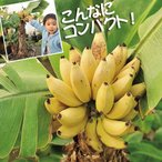 果樹苗 トロピカルフルーツ バナナ ドワーフモンキーバナナ 3株