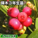 果樹苗 ハイブリッド系ブルーベリー ピンクレモネード 挿木3年生苗 1株