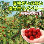 果樹苗 キイチゴ ウルトララズベリー超大王 1株