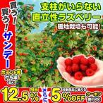果樹苗 キイチゴ ウルトララズベリー超大王 3株