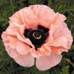 花苗 オリエンタルポピー ワルツイングエリザベス 1株 / 花の苗 はな苗 花壇