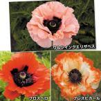 花苗 オリエンタルポピーセット 3種3株 / 花の苗 はな苗 花壇