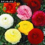 花苗 ラナンキュラスミックス(花色無選別) 6株 / 花の苗 はな苗 花壇
