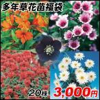 花苗 多年草苗福袋  20株以上 / 花の苗 はな苗 花壇