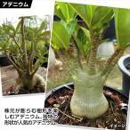 花苗 アデニウム アラビカム 1株 / 花の苗 はな苗 花壇