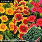 ケース花苗 ガイラルディア アリゾナミックス(無選別) 2ケース48株 / 花の苗 はな苗 花壇