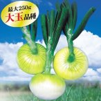 玉ねぎ苗 冬どり玉ねぎ F1フレッシュオニオン 1kg / タマネギ たまねぎ 苗