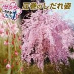 桜 平安しだれ 3株 / サクラ さくら 苗 苗木