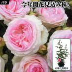 花木 バラ ピエールドゥロンサールR(開花見込株) 1株 / 薔薇 ばら 苗