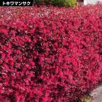 花木 トキワマンサク 赤葉トキワマンサク赤花 1株 / 庭木
