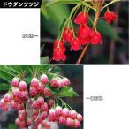 花木 ドウダンツツジセット 2種2株 / 庭木