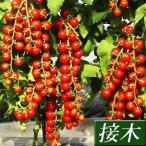 接木野菜苗 ミニトマト 接木F1TYあまちゃん 2株 / とまと 苗 プチトマト画像
