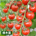 接木野菜苗 ミニトマト 接木F1CFプチぷよ 4株 / やさい 苗 家庭菜園 つぎき