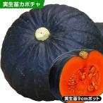 かぼちゃの苗 F1極王かぼちゃ 4株 / 実生野菜苗  かぼちゃの苗 カボチャ苗