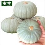 実生野菜苗 カボチャ F1雪宝 4株 / かぼちゃ 苗 カボチャ苗 自根苗