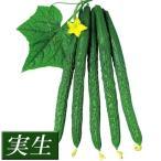 実生野菜苗 キュウリ F1近成四葉 12株