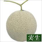 実生野菜苗 メロン F1フェリーチェ 4株