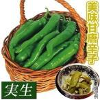 実生野菜苗 トウガラシ 万願寺トウガラシ 12株