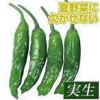 実生野菜苗 甘トウガラシ ししとう 4株 / 甘とうがらし 苗 甘トウガラシ苗 自根苗