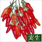 実生野菜苗 トウガラシ 島トウガラシ 4株 / とうがらし 苗 トウガラシ苗 自根苗