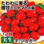 実生野菜苗 ミニトマト F1シュガー 12株