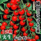 実生野菜苗 ミニトマト F1ルビー 12株