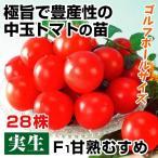 実生野菜苗 中玉トマト F1甘熟むすめ 28株