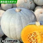 かぼちゃ 苗 F1雪美人EX 2株 / 実生野菜苗 かぼちゃの苗 カボチャ苗