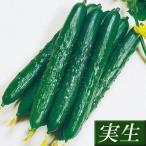 実生野菜苗 キュウリ F1グッドキュウリ 2株 / きゅうり 苗 キュウリ苗 キュウリ 苗 自根苗