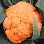 野菜たね カリフラワー F1オレンジカリフラワー 1袋(30粒) / タネ 種
