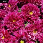 花たね コスモス クランベリー 1袋(100mg) / 種 タネ