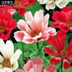 花たね コスモス シーシェルミックス 1袋(100mg) / タネ 種