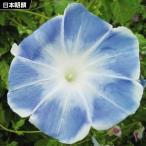 花たね 日本朝顔 薄青 1袋(10粒) / タネ 種