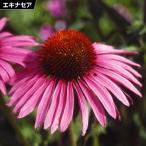 花たね 種 エキナセア 桃 1袋(200mg) / タネ 種 花壇 ガーデニング パープレア プルプレア 国華園