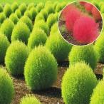 花たね コキア 1袋(5g) / タネ 種 ホウキグサ