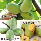 果樹苗 ポポー 特選ピーターソンポポーセット 3種3株 / 果物苗 フルーツ苗
